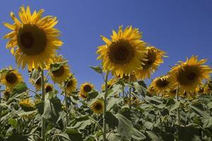 veld met zonnebloemen foto