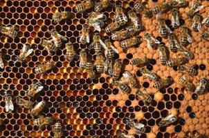 hardwerkende bijen op honingraat foto