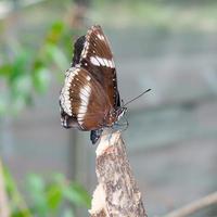 witte admiraal (limenitis camilla), bruine vlinder foto