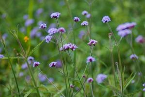close-up paarse bloemen foto