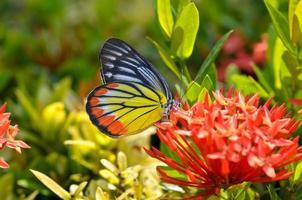 de gewone tijgervlinder die op rode ixorastroom neerstrijkt foto