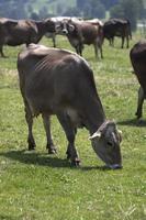 portret van een koe met een hoge opbrengst foto