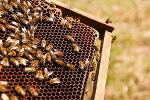 close-up van de werkende bijen op honingraat.