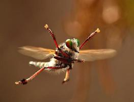 spectaculaire acrobatiek van een prachtige roversvlieg tijdens het baltsritueel foto