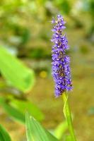 dactylorhiza, gewoonlijk moerasorchidee of gevlekte orchidee genoemd foto
