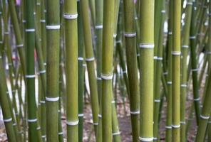 bamboe behang foto