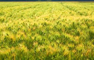 gebied van tarwe in japan foto