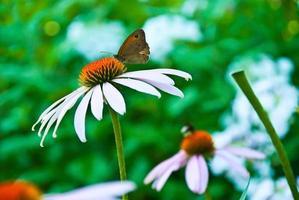 vlinder op een zonnehoed foto