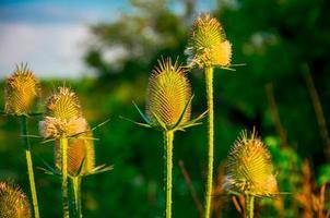 groen veld stekelige paarse plant foto