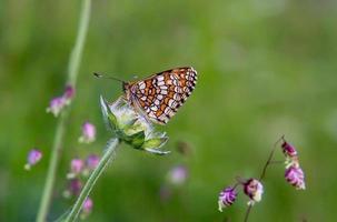 vlinder bariatrica galatea foto
