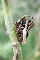 morpho vlinder, morpho peleides foto