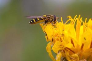 zweefvlieg op een paardebloembloem