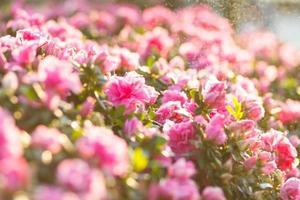 roze begonia foto