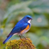 himalaya bluetail foto