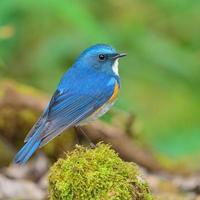 himalayan bluetail vogel foto