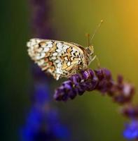 vintage foto van vlinder