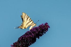 zwaluwstaart op een lila foto