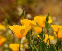prachtige wildflower eschscholzia californica in volle bloei foto