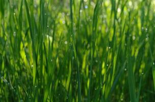 zachte intreepupil groen gras met waterdruppel in de zon foto