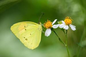 portret van vlinder - geeloranje punt foto