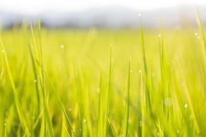 verse groene rijstzaailingen. heldere zomer. natuurlijke achtergronden foto