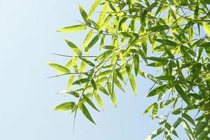 bamboe bladeren foto