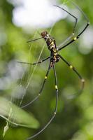spin op het web (nephila maculata) foto