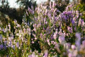 paarse heide in het veld