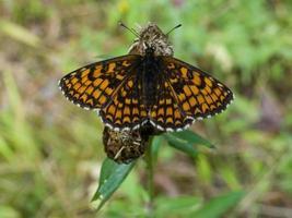 oranje en zwarte vlinder macro in een gras foto