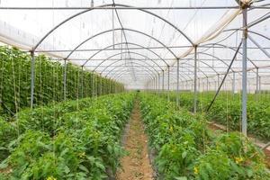 biologische tomaten groeien in de kas.