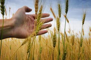 de handen van de tarwe
