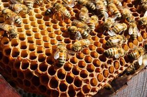 bijenteelt in vietnam, bijenkorf, bijenhoning foto