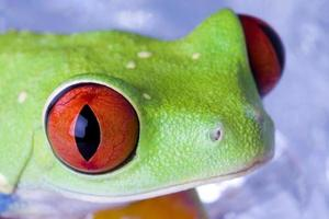 kikker met rode ogen foto