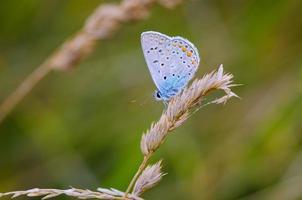 blauwe vlinder die op het gras rust foto