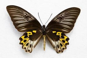 vlinder geïsoleerd foto