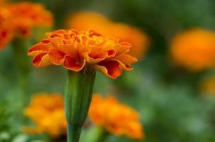 gemeenschappelijke saliebloem foto