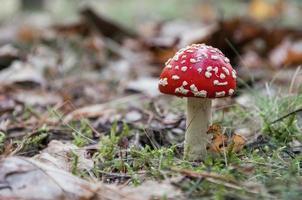 rode paddestoel in een bos foto