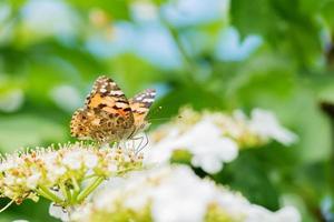 oranje vlinder foto
