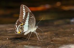gestreepte zwaluwstaartvlinder (papilio demolion) foto