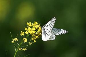 kleine witte schoonheid. foto
