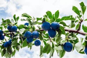 overwoekerde pruimenboom foto