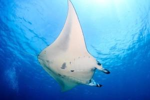 manta ray aan de oppervlakte foto