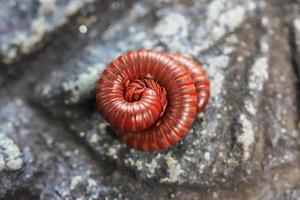 duizendpoot zijn insecten die meerdere poten hebben. foto