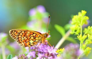 vlinder (polyommatus) foto