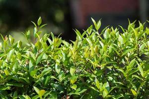 groene bladeren hek achtergrond foto