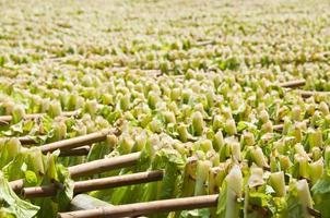 het drogen van tabaksbladeren. foto