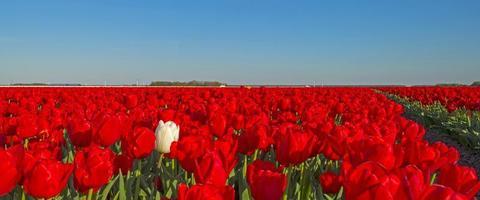 tulpen in een veld in het voorjaar
