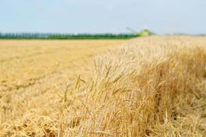 oogst van graan foto