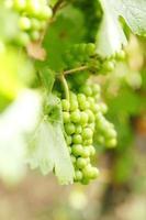 tros druiven op de wijnstok foto