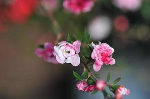 kleine roos foto